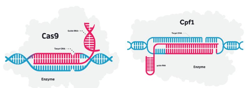 Editas-Genom